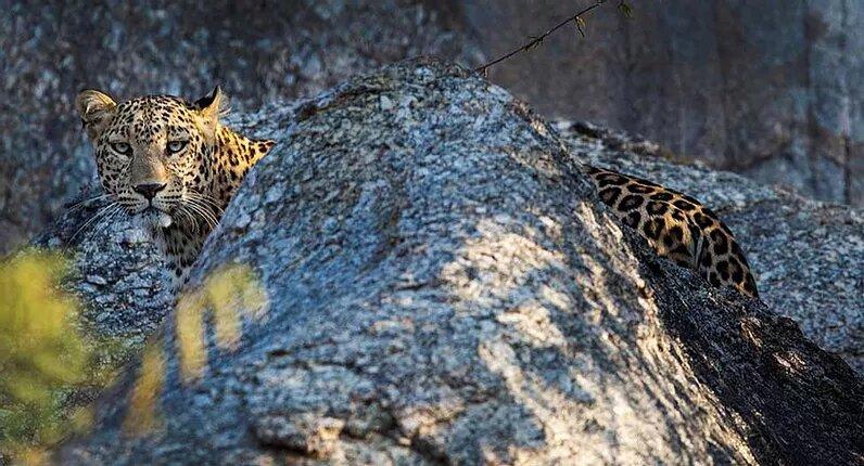 The leopard of Jawaï